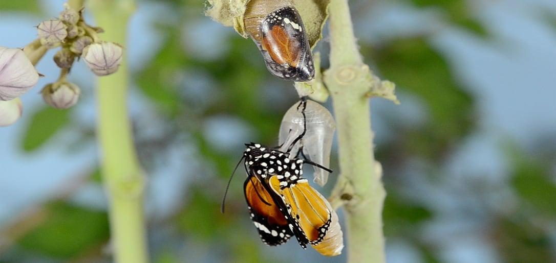 Butterfly emerging from cocoon - Chris Lawton